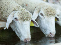 The-importance-of-water-and-animal-production