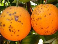 Citrus Black Spot Disease